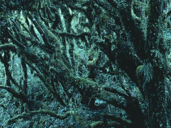 New Zealand, Rainforest-Thonig-Photographic Print
