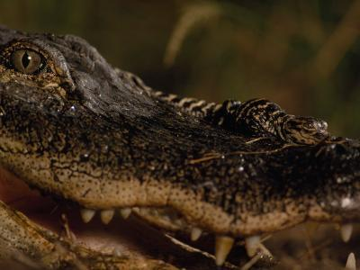 Newborn American Alligator on Top of its Mother's Nose-Chris Johns-Photographic Print