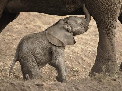 Newborn Baby Elephant Learning to Nurse-William Manning-Photographic Print