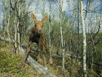 Newborn Calf Moose Stands in a Quaking Aspen Grove, Alaska-Michael S^ Quinton-Photographic Print