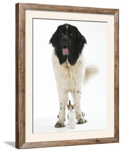 Newfoundland with Kitten--Framed Photographic Print