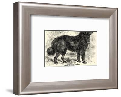 Newfoundland--Framed Art Print
