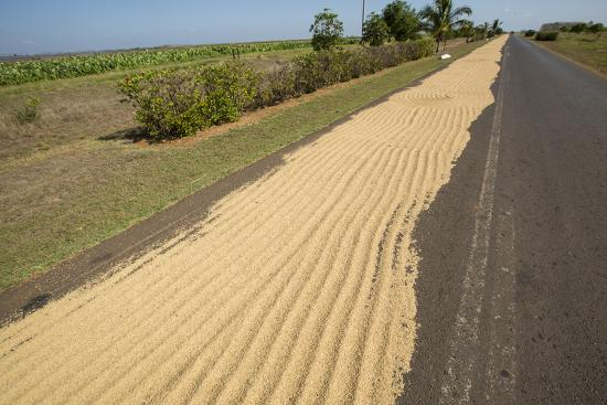 Newly Harvested Rice Dries on a Blacktop Road in a Rural Area-Michael Lewis-Photographic Print