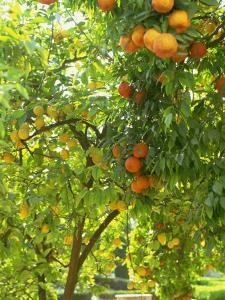 Orange and Lemon Trees in the Alcazar Gardens, Cordoba, Andalucia, Spain, Europe by Newton Michael