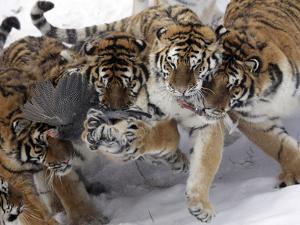 APTOPIX China Siberian Tigers by Ng Han Guan