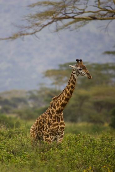 Ngorongoro Crater, Tanzania, Africa: A Giraffe under an Acacia Tree in Ngorongoro Crater-Ben Horton-Photographic Print