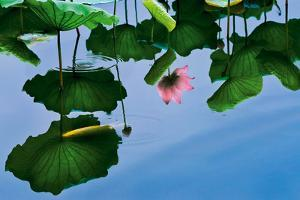 Lotus In Reflection by Nhiem Hoang The