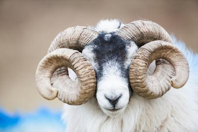 Black Faced Sheep Ram With Twisted Horns, Mull, Scotland, UK. January
