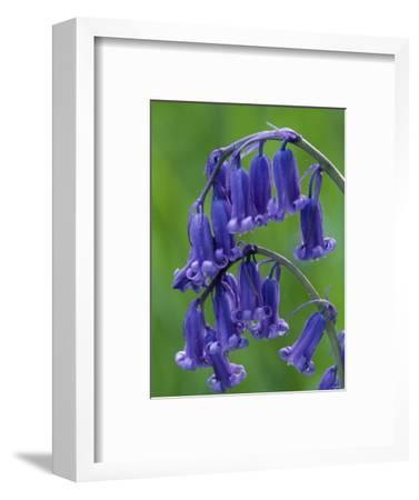 Bluebell Flower, UK