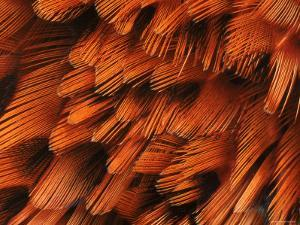 Close-Up of Plumage of Male Pheasant by Niall Benvie