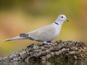 Collared Dove at Water's Edge, Alicante, Spain by Niall Benvie