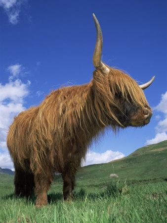 Domesticated Highland Cow, Aberfoyle, Argyll, Scotland, UK