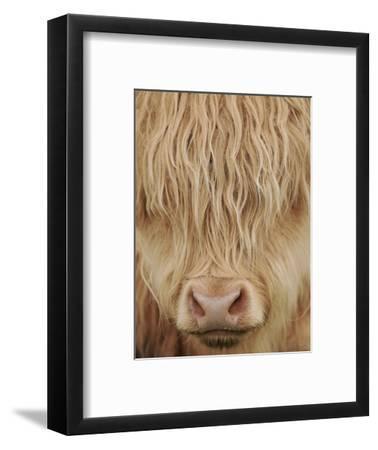 Face of Highland Catle, Scotland, UK