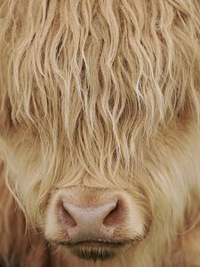 Face of Highland Catle, Scotland, UK by Niall Benvie
