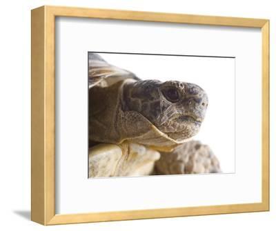 Greek Spur Thighed Tortoise Head Portrait, Spain