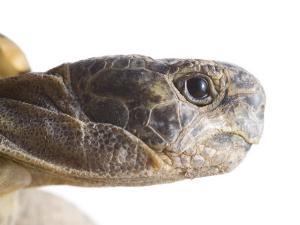 Greek Spur Thighed Tortoise Head Portrait, Spain by Niall Benvie