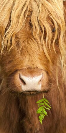 Head Portrait Of Highland Cow, Scotland, With Tiny Frond Of Bracken At Corner Of Mouth, UK by Niall Benvie