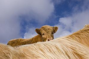 Highland Calf (Bos Taurus) Looking Over The Back Of Its Mother, Tiree, Scotland Uk. May 2006 by Niall Benvie