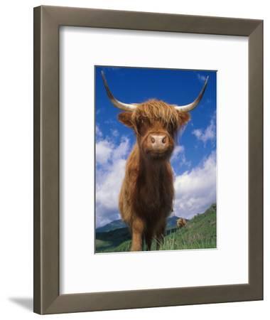 Highland Cattle Bull Portrait, Scotland, UK