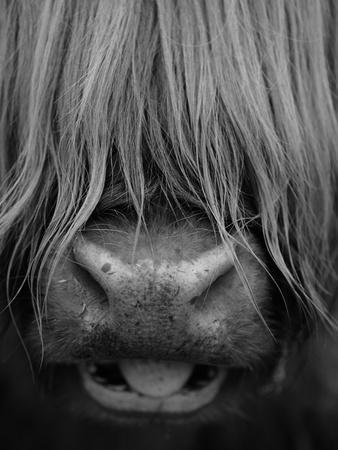 Highland Cattle, Head Close-Up, Scotland