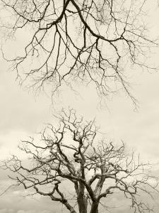 Looking Up at Branches of Dead Wych Elm Trees Killed by Dutch Elm Disease, Scotland, UK by Niall Benvie