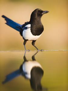 Magpie Coming to Drink at a Pool, Alicante, Spain by Niall Benvie