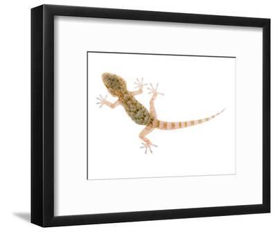 Moorish Gecko Juvenile, Spain