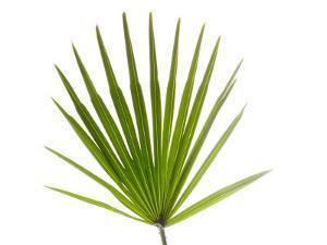 Palmito Dwarf Fan Palm Spain by Niall Benvie
