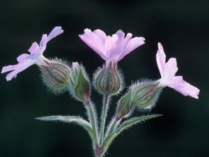 Red Campion in Flower by Niall Benvie