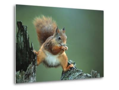 Red Squirrel Balancing on Pine Stump, Norway
