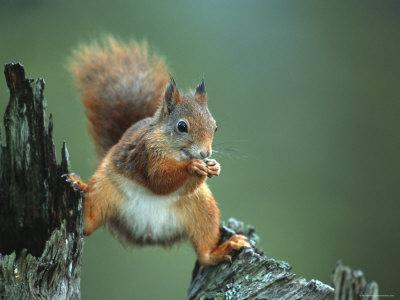 Red Squirrel Balancing on Pine Stump, Norway