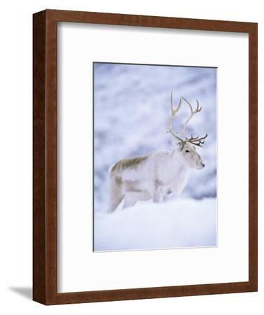 Reindeer Stag in Winter Snow (Rangifer Tarandus) from Domesticated Herd, Scotland, UK