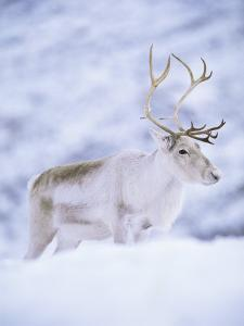 Reindeer Stag in Winter Snow (Rangifer Tarandus) from Domesticated Herd, Scotland, UK by Niall Benvie