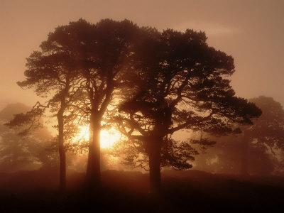 Scots Pine (Pinus Sylvestris) in Morning Mist, Glen Affric, Inverness-Shire, Scotland, UK, Europe
