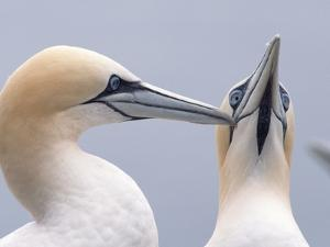 Two Northern Gannets by Niall Benvie