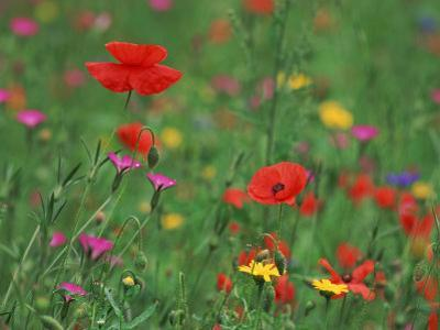 Wild Flowers, Including Poppy and Corncockle, Cultivated for Seed, Netherlands by Niall Benvie