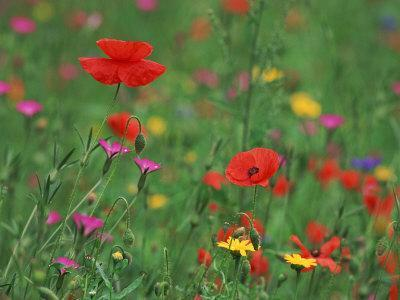 Wild Flowers, Including Poppy and Corncockle, Cultivated for Seed, Netherlands