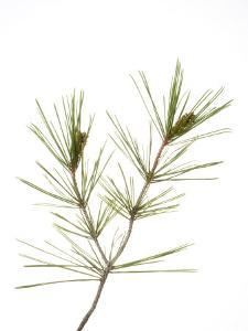 Young Cones on Twig of Aleppo Pine Tree Spain by Niall Benvie