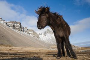 Young Icelandic Horse Near Stokkness, Iceland, March by Niall Benvie