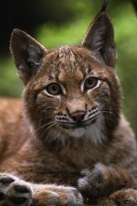 Young Male European Lynx (Lynx Lynx), Sumava Np, Bohemia, Czech Republic by Niall Benvie