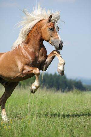 https://imgc.artprintimages.com/img/print/nice-prancing-haflinger-stallion_u-l-q103to60.jpg?p=0