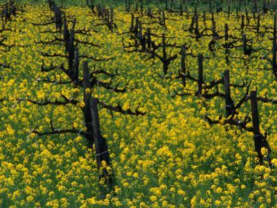 Detail of Pruned Vines and Mustard Blossoms, Napa Valley, USA