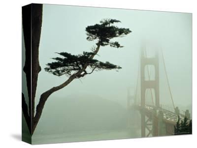 Golden Gate Bridge in Morning Fog with Cypress Tree