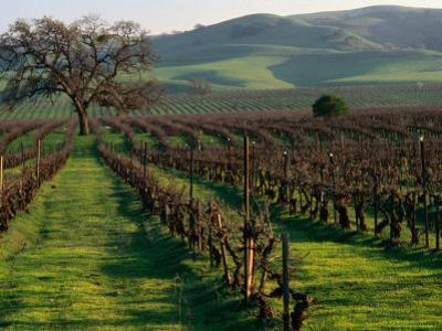 Late Winter Vineyard, Livermore Valley
