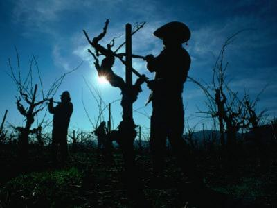 Silhouette of People Pruning Vines, Dry Creek Valley, Sonoma, USA