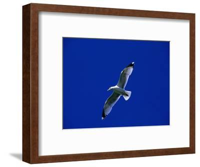 Herring Gull (Larus Argentatus) in Flight, North Berwick, United Kingdom