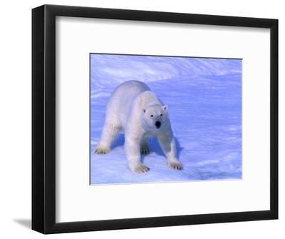 Polar Bear (Thalarctos Maritimus) Standing on Ice on Baffin Bay, Canada