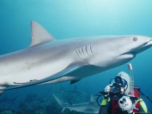 A Scuba Diver Takes a Photo of a Caribbean Reef Shark by Nick Caloyianis