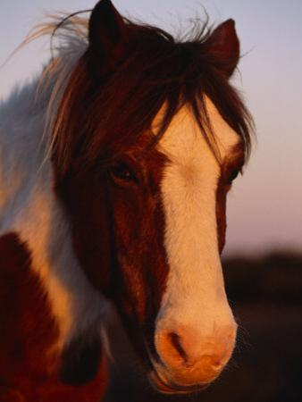 Chincoteague Pony in the Light of a Setting Sun by Nick Caloyianis