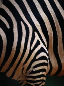 Close up of a Zebras Stripes by Nick Caloyianis